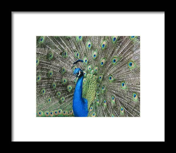 Peacock Framed Print featuring the photograph Royal Peacock Display by Rob Cruise