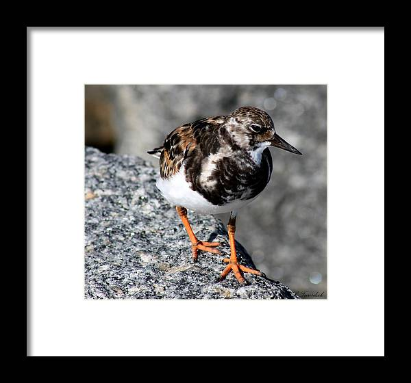 Bird Framed Print featuring the photograph Ruddy Makes For The Rocks by Patricia Twardzik