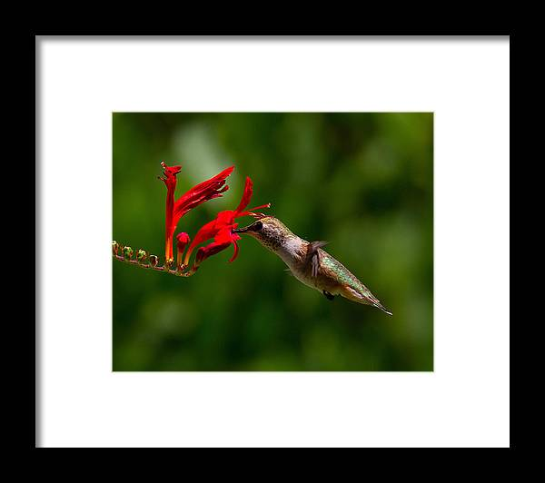 Framed Print featuring the photograph Rufous Hummingbird by Patrick Forster