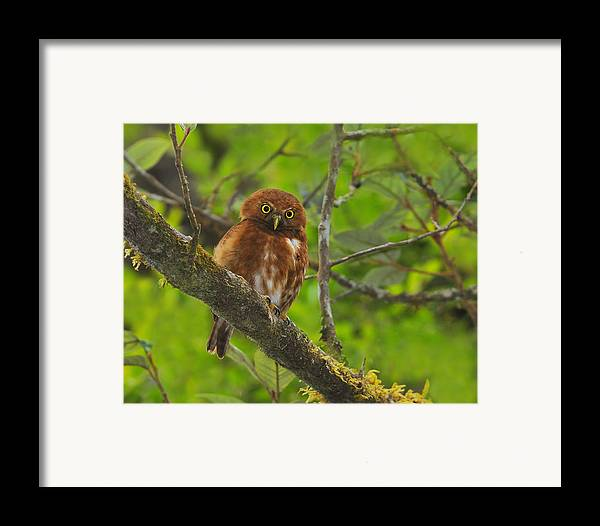 Costa Rican Pygmy Owl Framed Print featuring the photograph Rufous Morph Costa Rican Pygmy-owl by Tony Beck