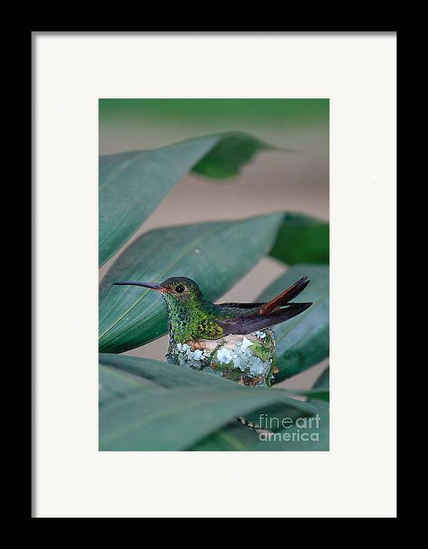Fauna Framed Print featuring the photograph Rufous-tailed Hummingbird On Nest by Gregory G Dimijian MD