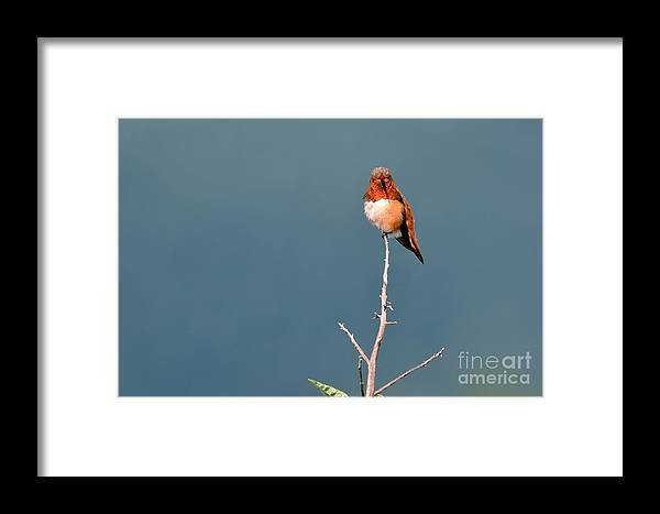 Hummingbird Framed Print featuring the photograph Rufus Hummingbird I I by Laura Mountainspring