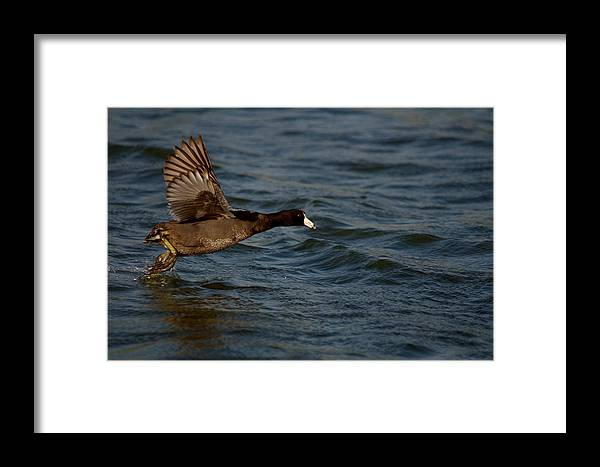 Bird Framed Print featuring the photograph Running On Water Series 4 by Roy Williams