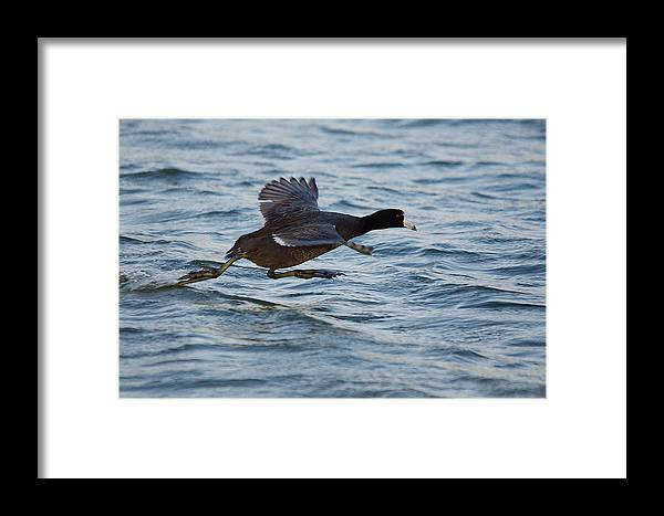 Bird Framed Print featuring the photograph Running On Water Series 5 by Roy Williams