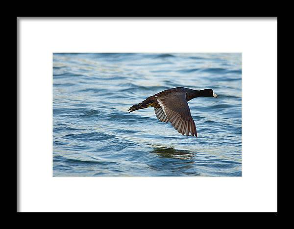 Bird Framed Print featuring the photograph Running On Water Series 7 by Roy Williams