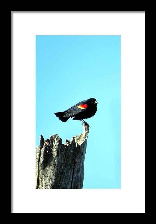 Bird Framed Print featuring the photograph Rwbl by Art Dingo