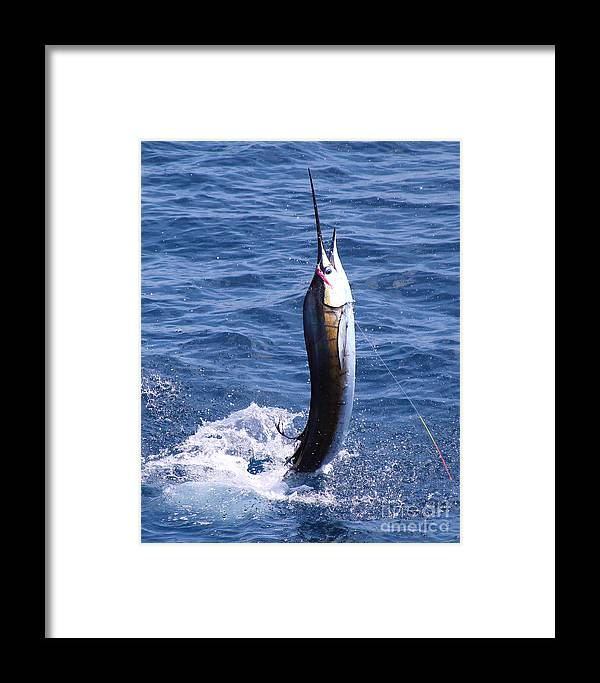 Sailfish Framed Print featuring the photograph Sailfish On Fly by Carey Chen