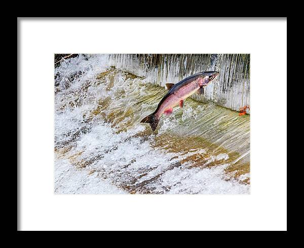 Animal Framed Print featuring the photograph Salmon Jumping Issaquah Hatchery by William Perry
