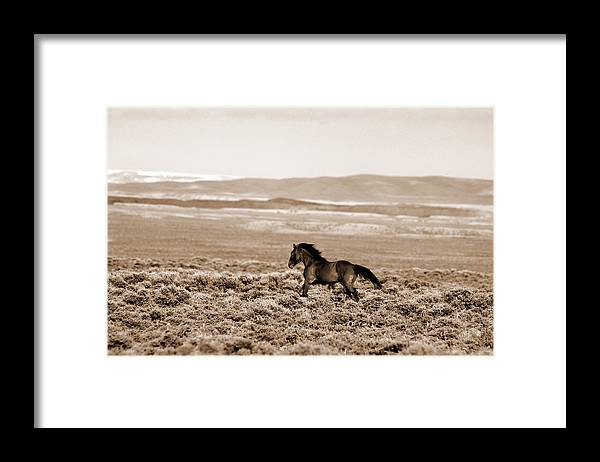 A Blm Mustang Runs In The Sand Wash Basin Near Baggs Framed Print featuring the photograph Sand Wash Mustang by Lourie Zipf