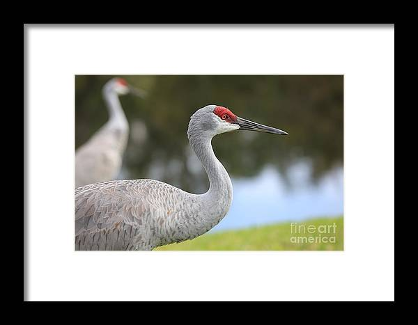 Sandhill Framed Print featuring the photograph Sandhill And Friend by Carol Groenen