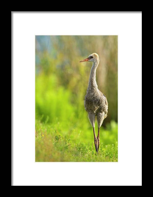 Baby Framed Print featuring the photograph Sandhill Crane Chick, Grus Canadensis by Maresa Pryor