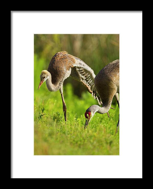 Bird Framed Print featuring the photograph Sandhill Crane Chick Stretching by Maresa Pryor