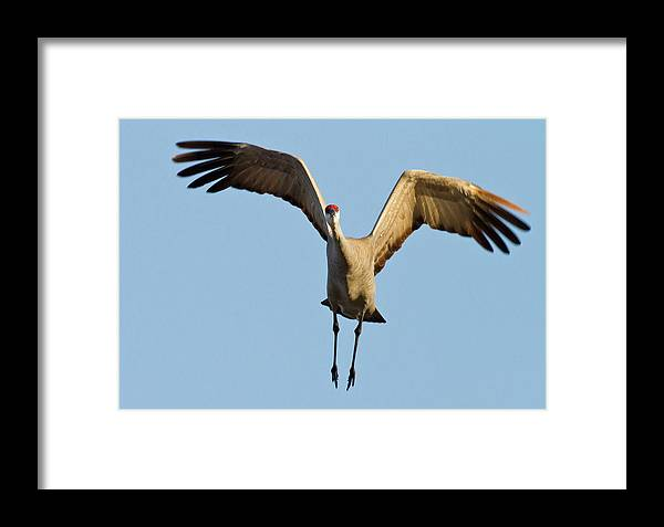 Avian Framed Print featuring the photograph Sandhill Crane (grus Canadensis by William Sutton