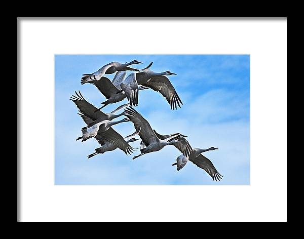 Sandhill Cranes Framed Print featuring the photograph Sandhill Cranes by Jim Rettker