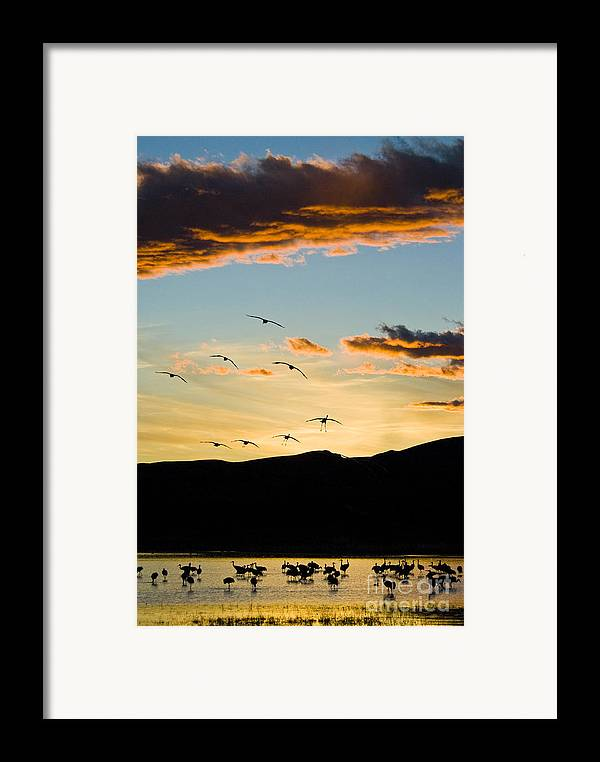 Nature Framed Print featuring the photograph Sandhill Cranes In New Mexico by William H Mullins