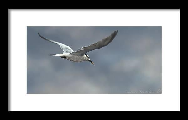 Bird Framed Print featuring the digital art Sandwich Tern by Aaron Blaise