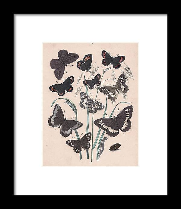 Butterfly Framed Print featuring the drawing Satyridae by W Kirby