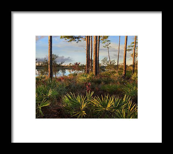 Tim Fitzharris Framed Print featuring the photograph Saw Palmetto And Longleaf Pine by Tim Fitzharris
