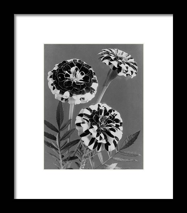 Flowers Framed Print featuring the photograph Scotch-stripe Marigolds by J. Horace McFarland
