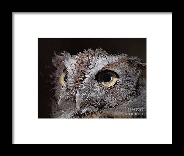 Screech Owl Framed Print featuring the photograph Screech Owl by Frank Piercy