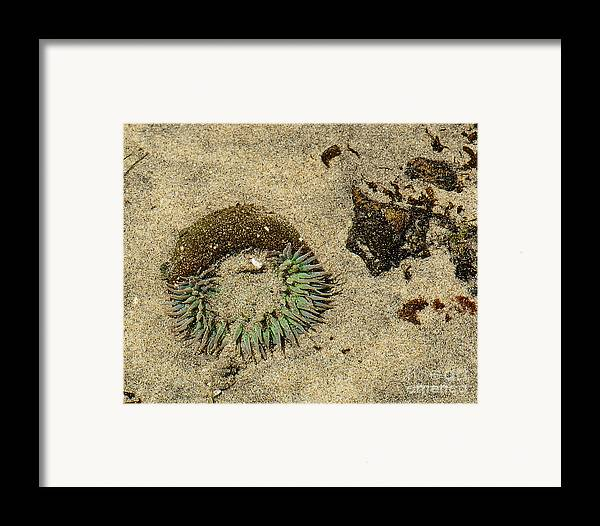 State Beach Near Big Sur Framed Print featuring the photograph Sea Anenome Half Buried In The Sand by Artist and Photographer Laura Wrede