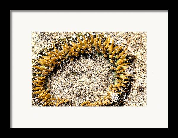 Big Sur Framed Print featuring the photograph Sea Anenome In The Sand by Artist and Photographer Laura Wrede