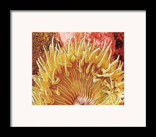 Ocean Art Framed Print featuring the photograph Sea Anenome Stretch by Artist and Photographer Laura Wrede