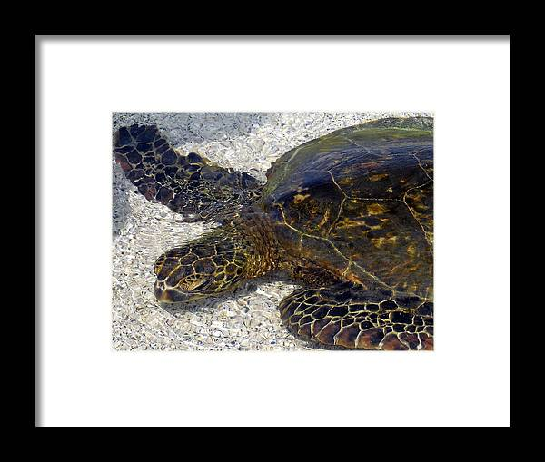 Turtle Framed Print featuring the photograph Sea Life by Athala Bruckner