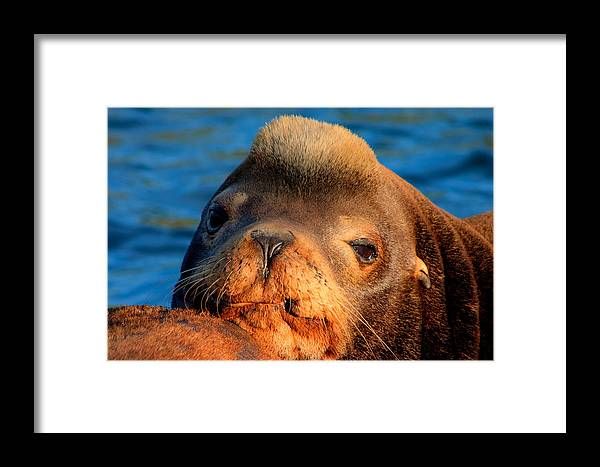 Animal Framed Print featuring the photograph Sea Lion by Joseph Bowman