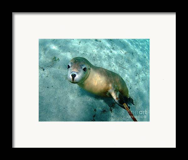 Australian Sea Lion Framed Print featuring the photograph Sea Lion On The Seafloor by Crystal Beckmann