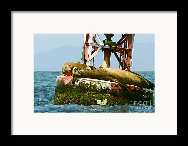 Sea Lions Framed Print featuring the photograph Sea Lions Floating On A Buoy In The Pacific Ocean In Dana Point Harbor by Artist and Photographer Laura Wrede