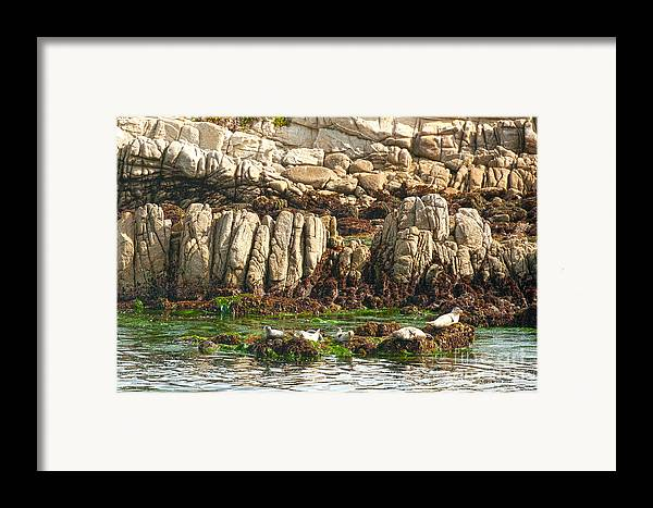 Sea Lions In Monterey Bay Framed Print featuring the photograph Sea Lions In Monterey Bay by Artist and Photographer Laura Wrede