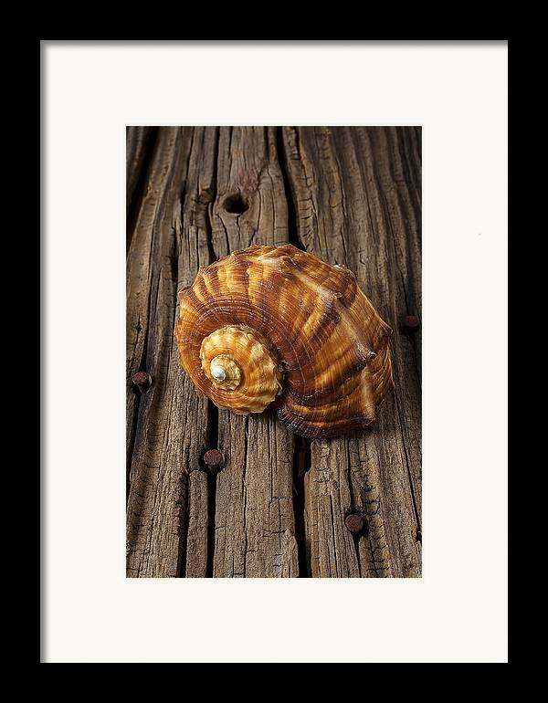 Sea Shell Framed Print featuring the photograph Sea Snail Shell On Old Wood by Garry Gay
