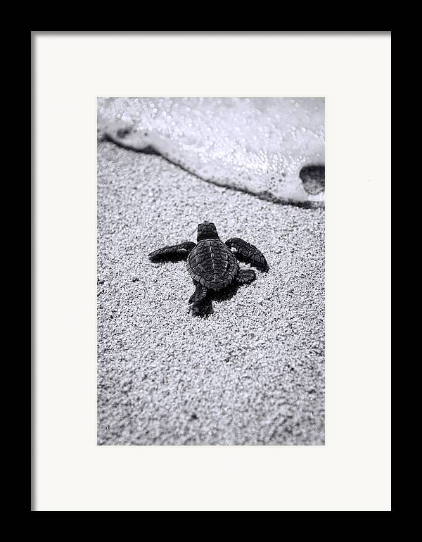 Baby Loggerhead Framed Print featuring the photograph Sea Turtle by Sebastian Musial