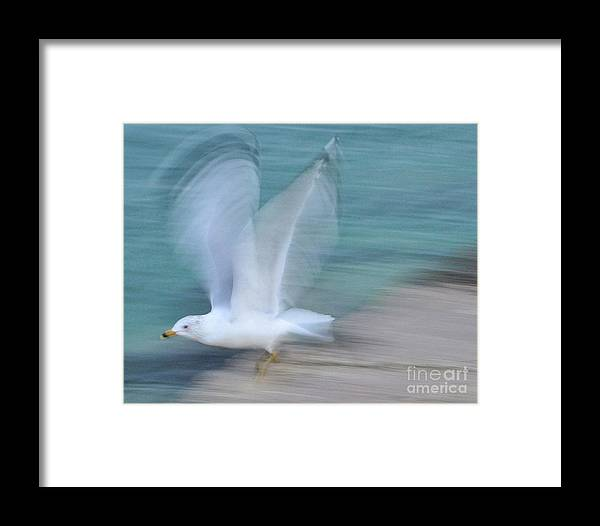 Seafull Framed Print featuring the photograph Seagull In Flight by David Call