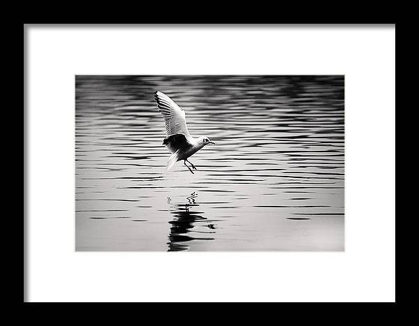 Seagull Framed Print featuring the photograph Seagull Landing On Lake by Simon West