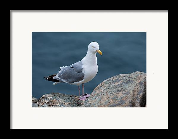 Acadia National Park Framed Print featuring the photograph Seagull by Sebastian Musial
