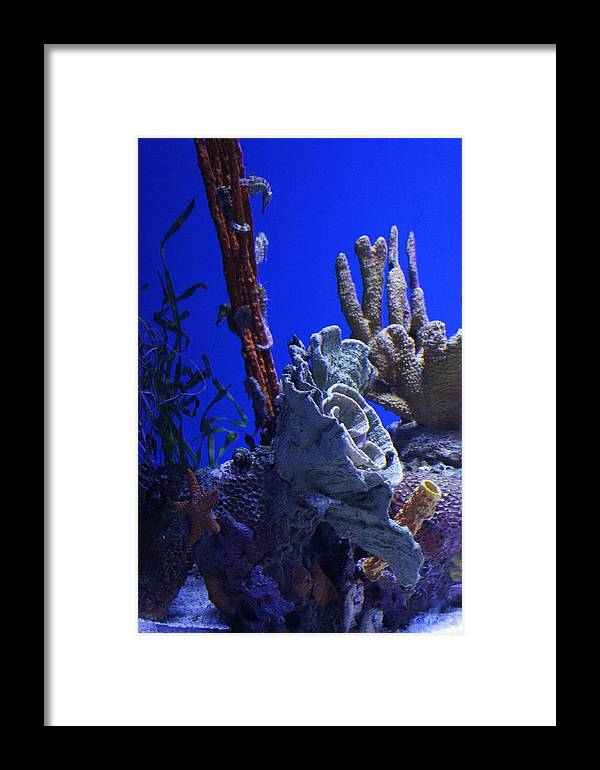 Seahorses Framed Print featuring the photograph Seahorses by Laurie Perry