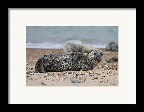 Seal Framed Print featuring the photograph Seal Pup On Beach by Gordon Auld