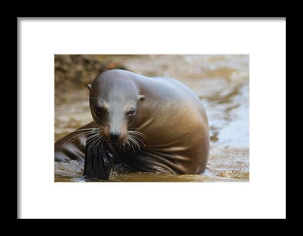 Sealion Framed Print featuring the photograph Sealion Mugs For The Camera by Allan Morrison