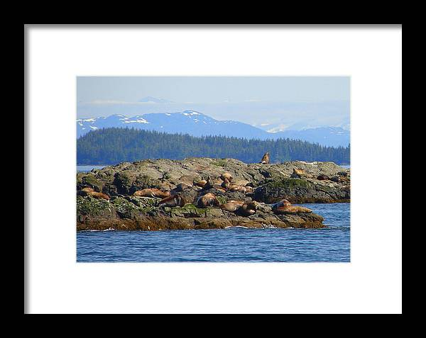 Alaska Framed Print featuring the photograph Seals 2 by Lew Davis