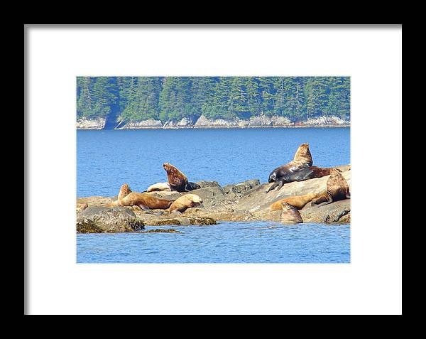 Seals Framed Print featuring the photograph Seals In Alaska 1 by Lew Davis