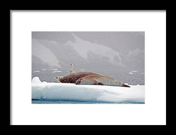 Animals In The Wild Framed Print featuring the photograph Seals Laying On A Piece Of Ice by Jim Julien / Design Pics
