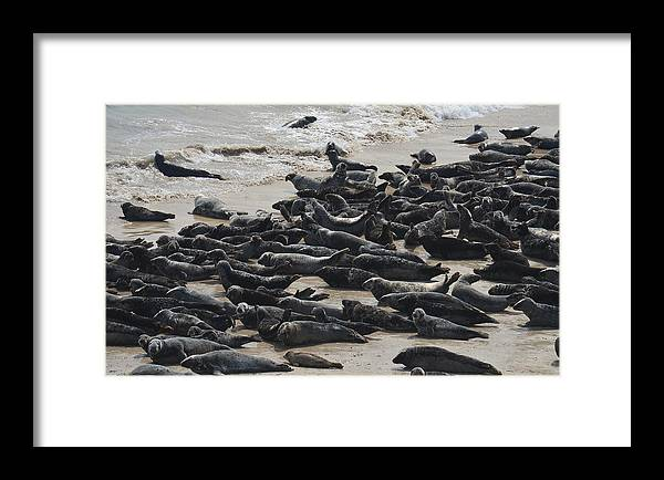 Seals Framed Print featuring the photograph Seals On The Blasket Island by Barbara Walsh