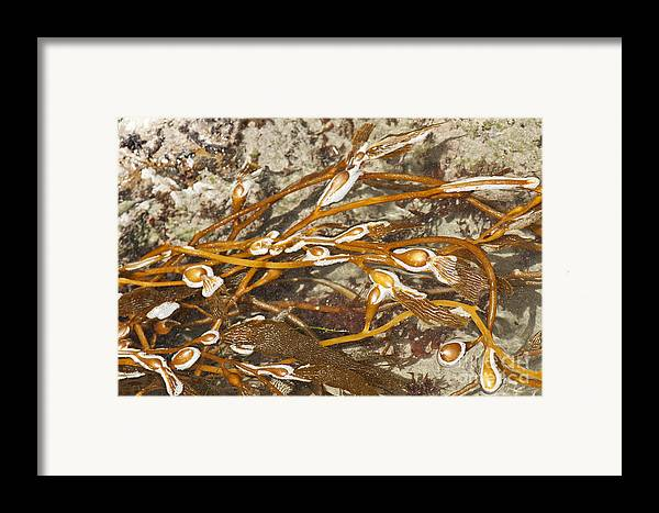 Seaweed Framed Print featuring the photograph Seaweed Swirls by Artist and Photographer Laura Wrede