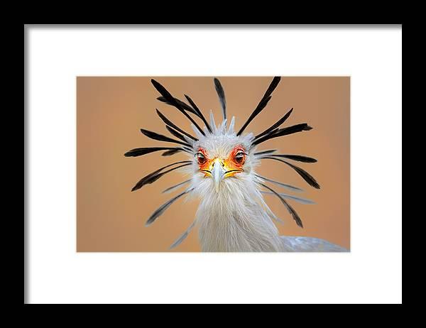 Bird Framed Print featuring the photograph Secretary bird portrait close-up head shot by Johan Swanepoel