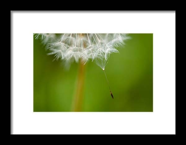 Dandelion Framed Print featuring the photograph Seeding by Cheryl Schneider