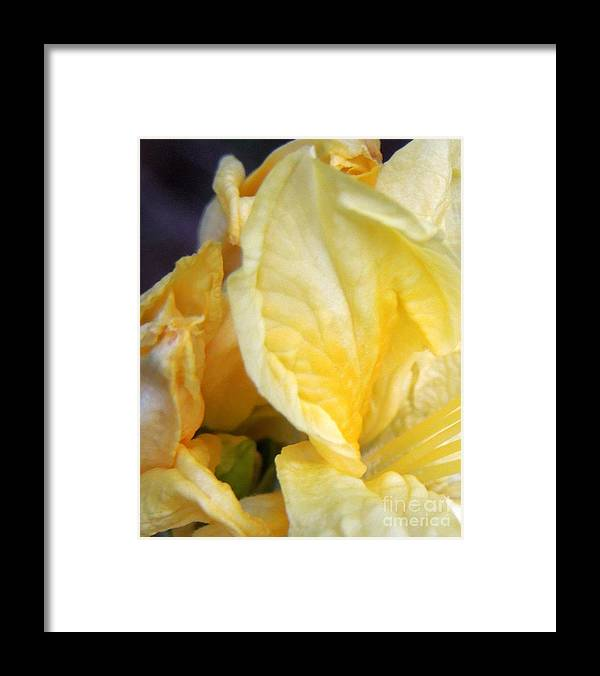 Azalea Framed Print featuring the photograph Shades Of Yellow by Renee Trenholm