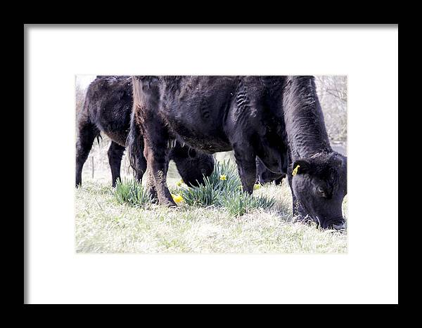 Angus Framed Print featuring the photograph Sharing Daffodils by Linda A Waterhouse