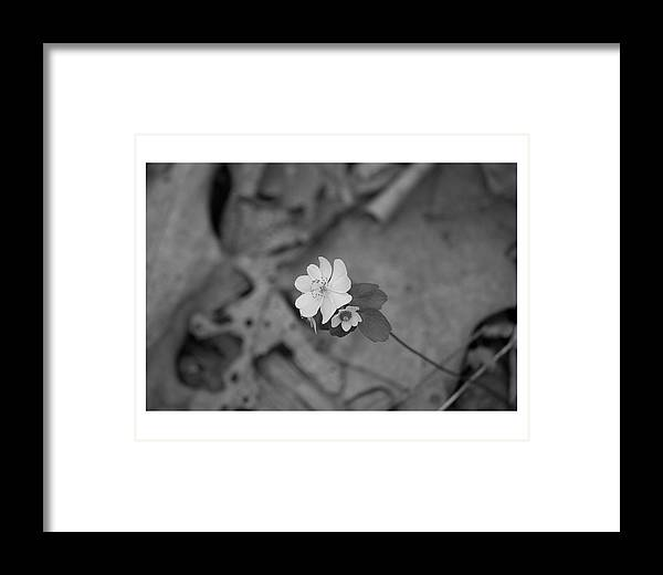 Pa. Wildflowers Framed Print featuring the photograph Sharp Lobe Hepatica Glspla198 by G L Sarti